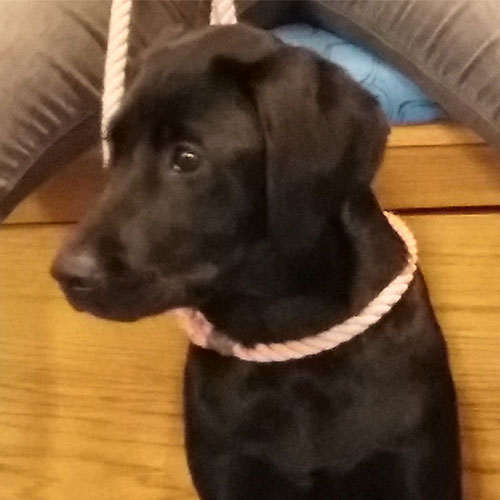 Pepper the Labrador, Macqueen Puppy Party Graduate from Bromham