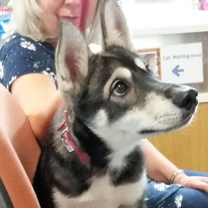 Sokeri the Siberian Husky, Macqueen Puppy Party graduate from Coate