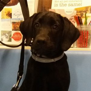 Bumble the Labrador, Macqueen Puppy Party graduate from Calne