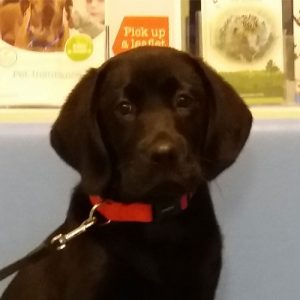 Hector the Labrador, Macqueen Puppy Party graduate from Devizes