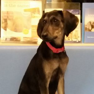 Juno the Saluki x Labrador, Macqueen Puppy Party graduate from Cherhill