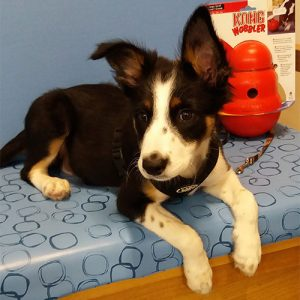 Khaleesi the Border Collie, Macqueen Puppy party graduate from Devizes