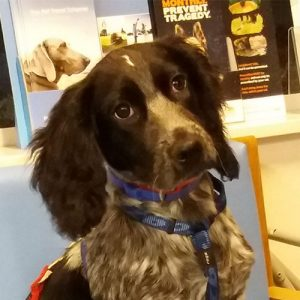 Misty the Sprocker, Macqueen Puppy Party graduate from Devizes
