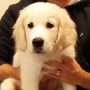 Teddy the Golden Retriever, Macqueen Puppy Party Graduate from Devizes