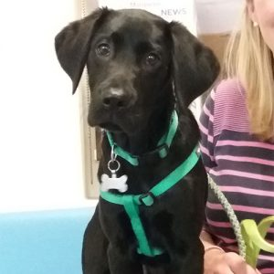 Charlie the Labrador, Macqueen Puppy Party Graduate from Allington