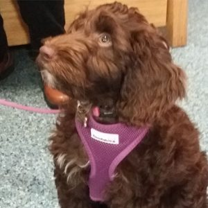 Cocoa the Cockerpoo' Macqueen Puppy Party Graduate from Devizes