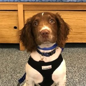 Oscar the Springer Spaniel, Macqueen Puppy party graduate from Devizes