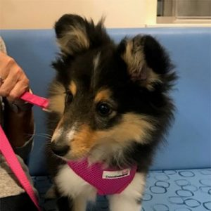 Tanya the Sheltie, Macqueen Puppy Party Graduate from Calne