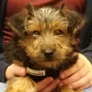 Tiny Teddy the Yorkshire Terrier, Macqueen Puppy Party graduate from Devizes