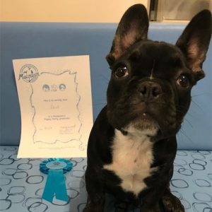 Zeus the French Bulldog, Macqueen Puppy Party Graduate from Devizes