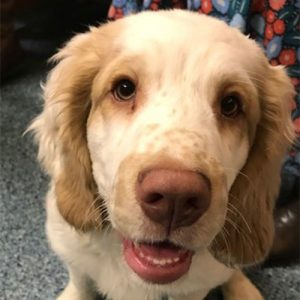 Freddie the Clumber Spaniel, Macqueen Puppy Graduate from Melksham