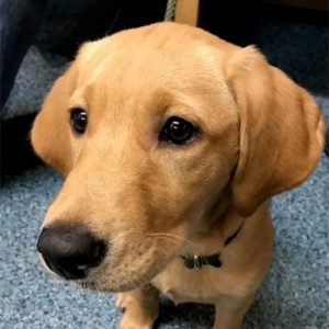 Gigha the Labrador, Macqueen Puppy Party Graduate from Wedhampton