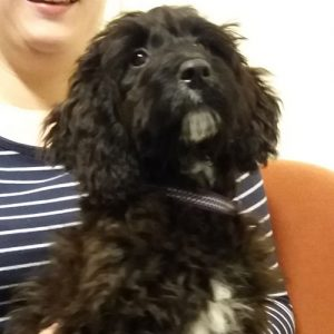 Molly the Cockerpoo, Macqueen Puppy Party graduate from Devizes