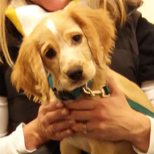 Poppy the Cocker Spaniel, Macqueen Puppy Party graduate from Devizes
