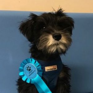 Riker the Schnauzer, Macqueen Puppy Party Graduate from Rowde
