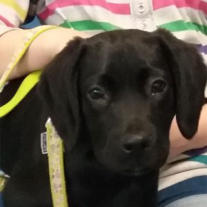 Winnie the Labrador x Spaniel, Macqueen Puppy party graduate from Devizes