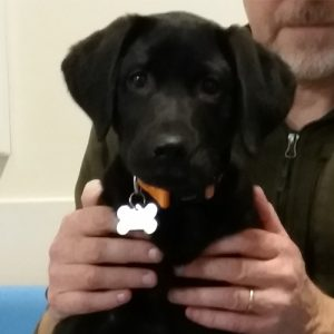 Amber the Labrador, Macqueen Puppy Party Graduate from Worton