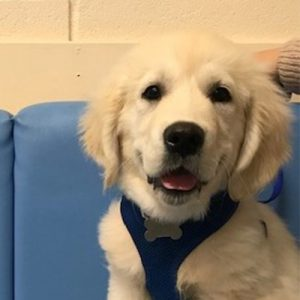 Bertie the Golden Retriever, Macqueen Puppy Party Graduate from Devizes