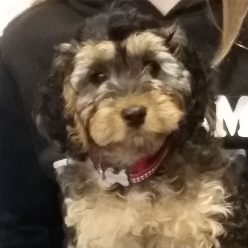 Boo the Cockapoo, Macqueen Puppy Party Graduate from Calne