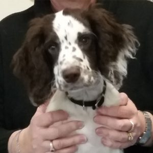 Digby the Working Cocker Spaniel, Macqueen Puppy Party Graduate from West Lavington