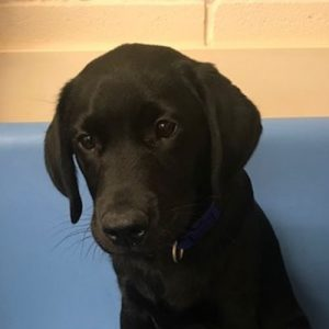 George the Labrador, Macqueen Puppy Party Graduate from West Lavington