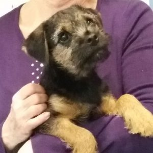 Holly the Border terrier, Macqueen Puppy Party graduate from Marlborough