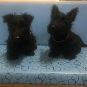 Mimi & Florence the Scotties, Macqueen Puppy Party Graduates from Wroughton