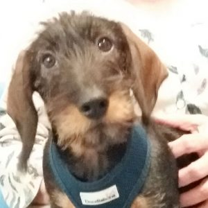 Monty the Dachshund, Macqueen Puppy Party Graduate from Upavon