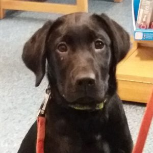 Rosa the Labrador, Macqueen Puppy Party Graduate from Calne