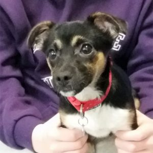 Willow the Jackchi, Macqueen Puppy Party Graduate from Devizes