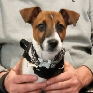Bertie the Jack Russell Terrier, Macqueen Puppy Party Graduate from Market Lavington