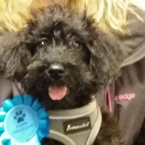 Maisey the Schnoodle, Macqueen Puppy Party Graduate from Bromham