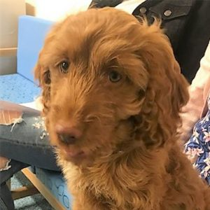Molly the Cockapoo, Macqueen Puppy Party Graduate from Calne