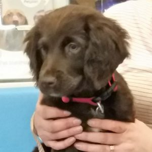 Ruby the Cocker Spaniel x Labrador, Macqueen Puppy Party Graduate from Devizes