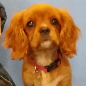 Audrey the Cavalier King Charles Spaniel, Macqueen Puppy Party Graduate from Calne
