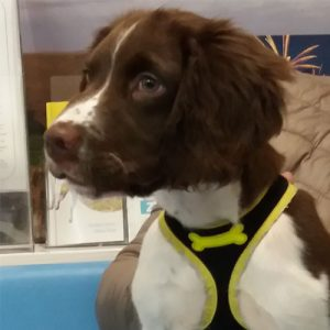 Marley the Springer Spaniel, Macqueen Puppy Party Graduate from Devizes