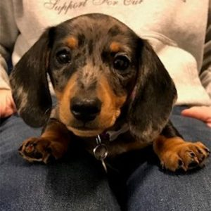 Rita the Dachshund, Macqueen Puppy Party Graduate from Devizes