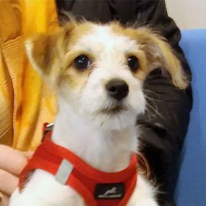 Zola the Jack Russell Terrier x Bichon, Macqueen Puppy Party Graduate from Corsham