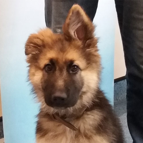 Harley the German Shepherd, Macqueen Puppy Party Graduate from Bromham