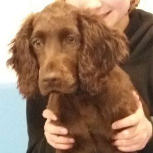 Ron the Cocker Spaniel, Macqueen Puppy Party Graduate from Horton