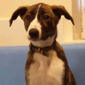 Sinbad the Lurcher, Macqueen Puppy Party Graduate from Devizes