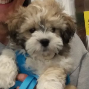 Zola the Shihtzu x Bichon, Macqueen Puppy Party Graduate from Devizes