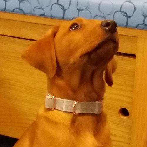 Josie the Labrador, Macqueen Puppy Party Graduate from Devizes