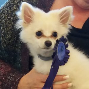 Snowy the Pomeranian, Macqueen's Puppy Party Graduate from Devizes