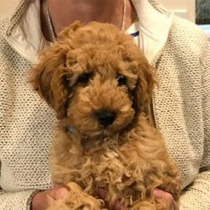 Beau the Miniature Poodle, Macqueen Puppy Party Graduate from Devizes