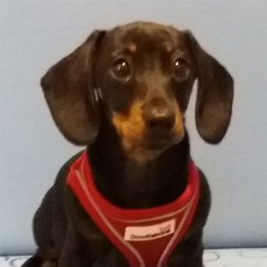 Frankie the Dachshund, Macqueen Puppy Party Graduate, from DevizesFrankie the Dachshund, Macqueen Puppy Party Graduate, from DevizesFrankie the Dachshund, Macqueen Puppy Party Graduate, from Devizes