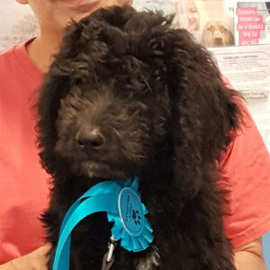 Albert the Ladradoodle, Macqueen Puppy Party Graduate from Devizes