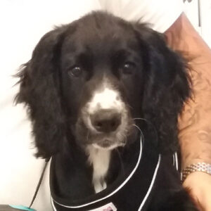 Dodger the Cocker Spaniel, Macqueen Puppy Party Graduate from Devizes