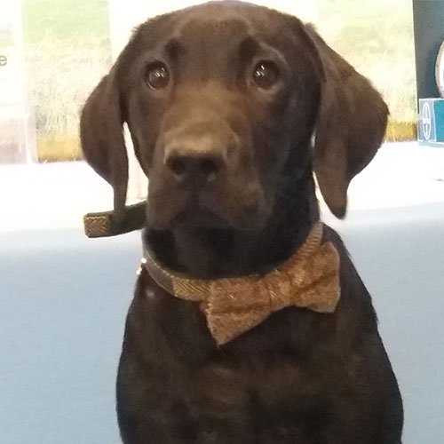 Steve the Labrador, Macqueen Puppy Party Graduate from Etchilhampton