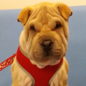 Buffy the Shar-Pei, Macqueen Puppy Party Graduate from Devizes
